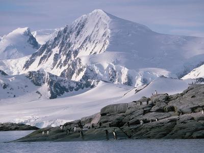 Antarctic, gentoo penguins
