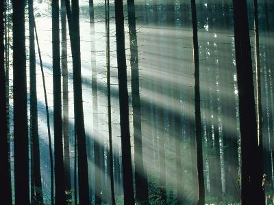 Sunbeams streaming through forest