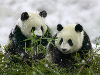 Giant Panda Cubs in Snowfall