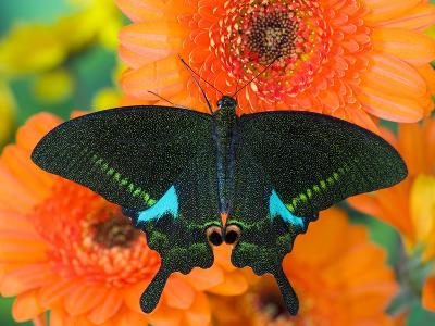 Paris Peacock Butterfly on Orange Gerber Daisy
