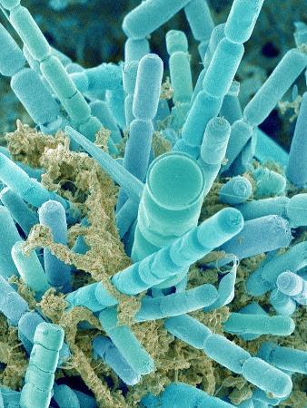 Sea Diatom