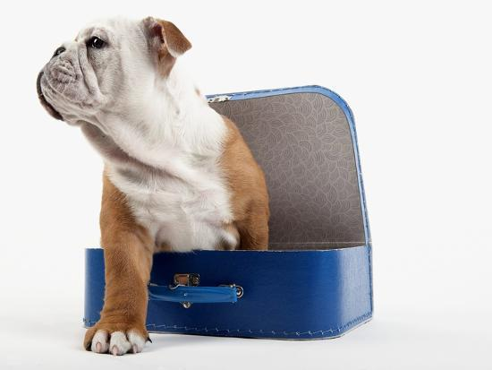 English Bulldog Puppy Sitting In A Lunch Box Photographic