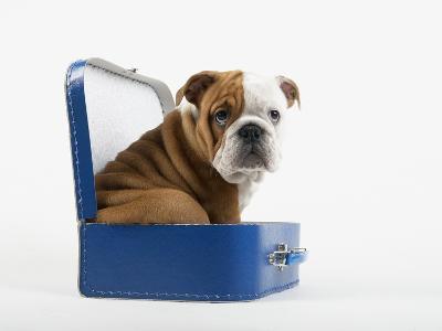 English Bulldog Puppy Sitting in a Lunch Box