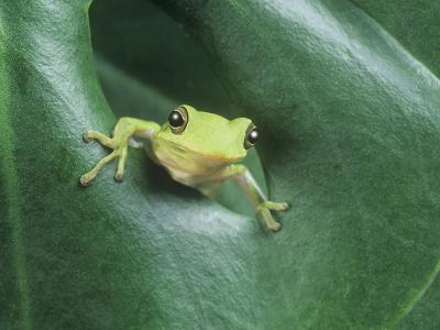 Frog Peeking Out From Leaf