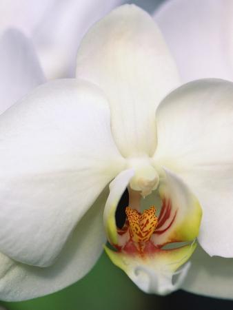 Phalaenopsis Hybrid White Orchid