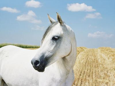 White Horse on Stubble Field
