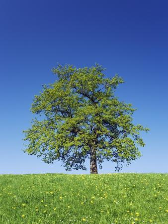Oak Tree in Meadow