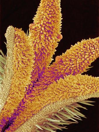Pistil of a Geranium Flower