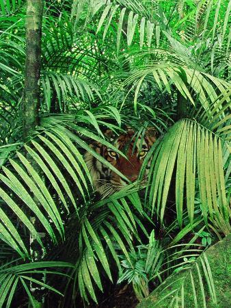 Tiger Hiding in Foliage