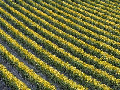 Grapevines at Vineyard