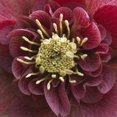 Close-Up of Lenten Rose