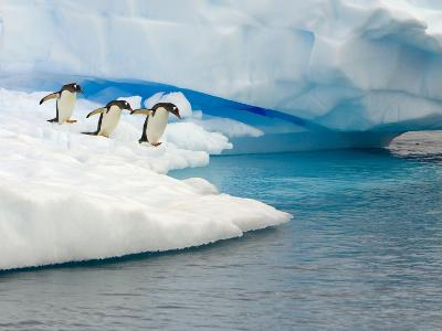 Gentoo Penguins Contemplating Jumping into Gerlache Strait