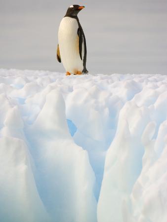 Gentoo Penguin on Ice Floe on the Antarctic Peninsula