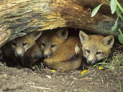 Red Fox Kits Huddled at Den Entrance