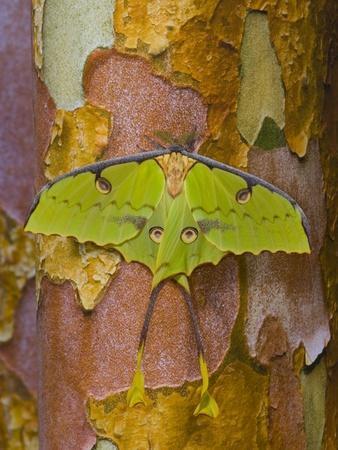 African Moon Moth on Tree Trunk