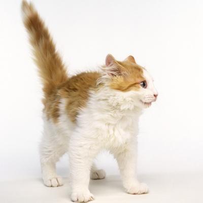 Frightened Ginger and White Kitten