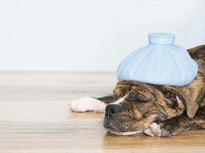 English bulldog feeling sick
