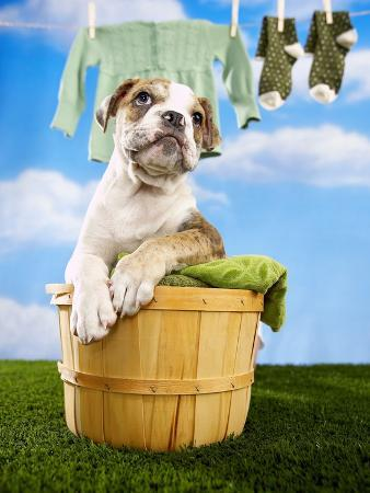 Bulldog Puppy in Laundry Basket
