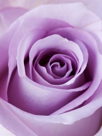 Light Purple Rose Photographic Print By Clive Nichols At