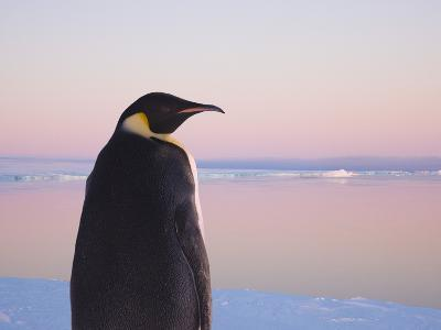 Emperor Penguin on Pack Ice