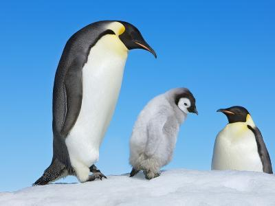 Emperor penguin parents with chick