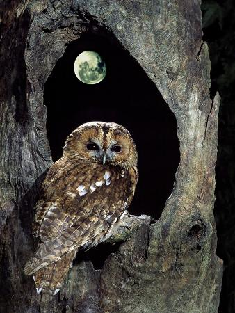 Tawny Owl Perched in Tree Below Nearly Full Moon