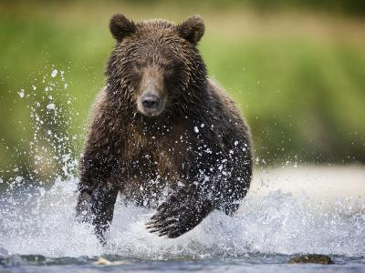 Brown Bear Fishing for Spawning Salmon at Geographic Harbor