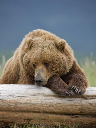 Grizzly Bear Resting on Log at Hallo Bay
