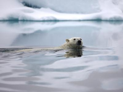 Polar Bear Swimming in Svalbard Islands