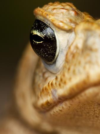 Toad in Costa Rica