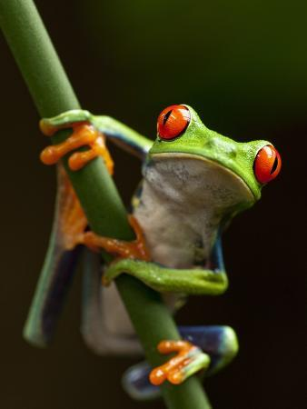 Tree Frog in Costa Rica