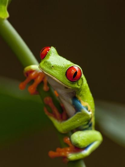Red Eyed Tree Frog In Costa Rica Photographic Print By