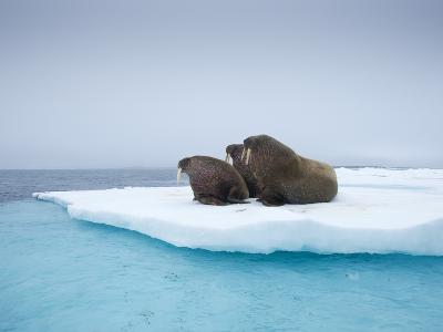 Group of Walrus on ice