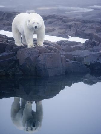 Polar Bear walking on rocky shoreline
