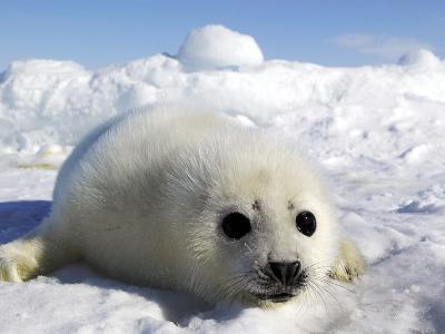Harp Seal on the Ice in the Gulf of St Lawrence, Maritime Provinces, Canada