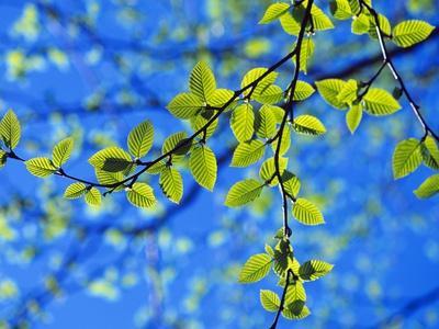 Spring Leaves, Irving Nature Park, Saint John, New Brunswick, Canada