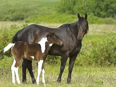 Horses (Equus Caballus) Female with Paint Foal, Ranch, Southwest Alberta, Canada.