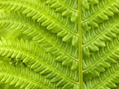 Cinnamon Fern (Osmunda Cinnamomea) Detail of Emerging Fronds, Lively, Ontario, Canada.