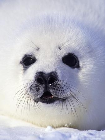 Week-old Harp Seal (Phoca Groenlandica) Pup (whitecoat), Gulf of the St. Lawrence River, Canada.