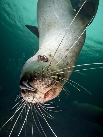 Curious Steller Sea Lion Swimming Underwater