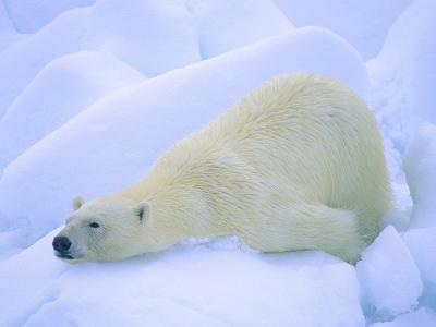 Adult Polar Bear (Ursus Maritimus) Cleaning Its Fur on the Snow. Svalbard, Arctic Norway.