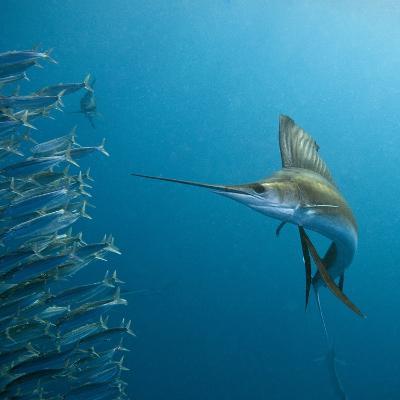 Sailfish feeding on Brazilian sardines