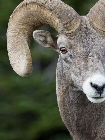 Bighorn Ram (Ovis Canadensis), Logan Pass, Glacier National Park, Montana