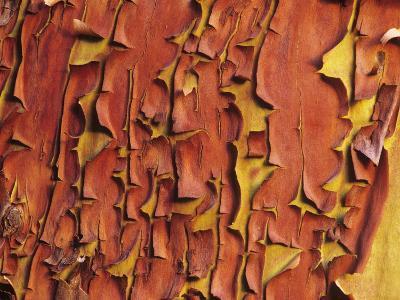 Arbutus Tree, Bark Pattern, British Columbia, Canada.