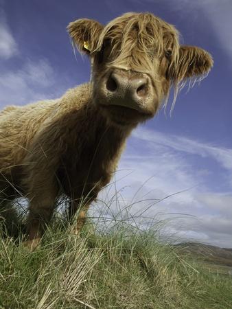 Shaggy haired highland cow