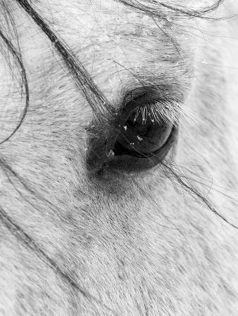 A Close Shot of a Horses Eye with Snow Flakes Taken in Alberta, Canada.