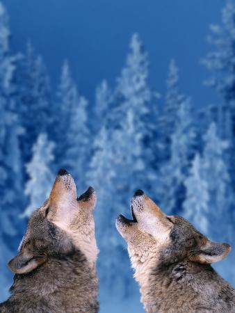Pair of Howling Gray Wolves
