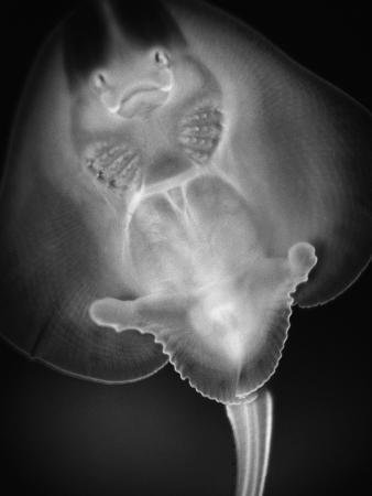 Bottom View of a Stingray
