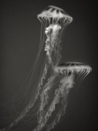 Two Jellyfish