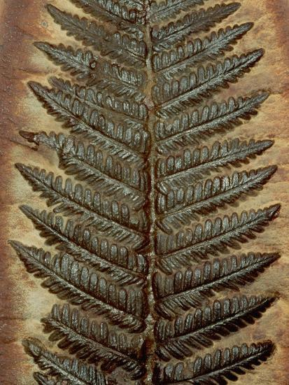 Carboniferous Fossil Fern Photographic Print By Kevin
